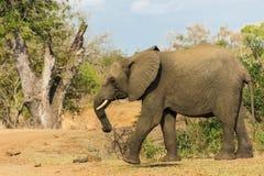 Éléphant entrant dans un chemin de terre en parc images stock