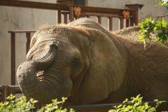 Éléphant espiègle faisant des tours avec le tronc images stock