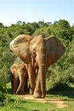 Éléphant et chéri enormes dans la savane Images libres de droits