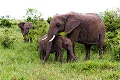 Éléphant et jeune Images stock