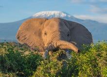 Éléphant et Kilimanjaro photos libres de droits
