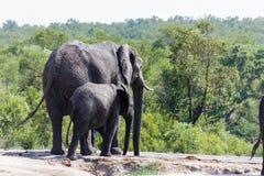 Éléphant et veau marchant vers un abreuvoir dans le parc photographie stock