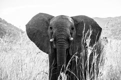 Éléphant fâché Photos stock