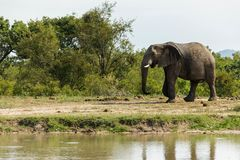 Éléphant flânant après un petit abreuvoir dans le parc photos libres de droits