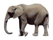 Éléphant gris Images libres de droits