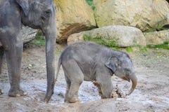 Éléphant infantile dans la boue avec sa mère Images libres de droits