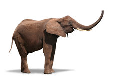 Éléphant joyeux sur le blanc Photo libre de droits
