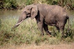 Éléphant mangeant l'herbe à côté d'une rivière images stock