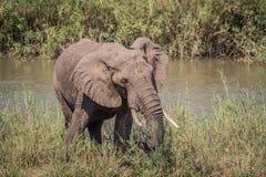 Éléphant mangeant l'herbe à côté d'une rivière photo libre de droits