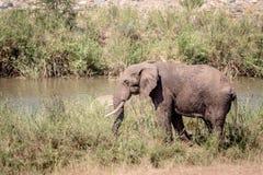 Éléphant mangeant l'herbe à côté d'une rivière photographie stock