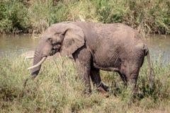 Éléphant mangeant l'herbe à côté d'une rivière photo stock