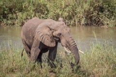 Éléphant mangeant l'herbe à côté d'une rivière image libre de droits