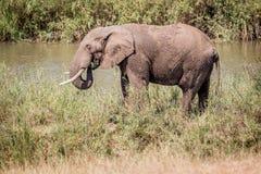 Éléphant mangeant l'herbe à côté d'une rivière photos stock