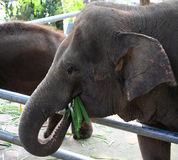 Éléphant mangeant l'herbe Photos stock