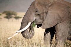Éléphant mangeant l'herbe Photographie stock