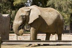 Éléphant mangeant le foin Photographie stock