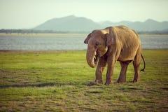 Éléphant mangeant sans soin Photo stock