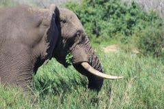 Éléphant mangeant tandis que sur le mouvement Photographie stock