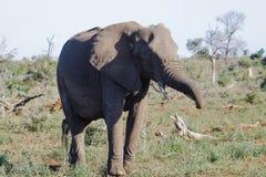 Éléphant marchant à travers les plaines en parc photos libres de droits