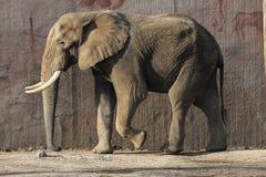 Éléphant marchant autour dans un zoo d'Ouwehands image stock