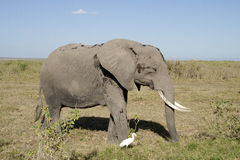 Éléphant marchant avec l'aigrette Photographie stock libre de droits