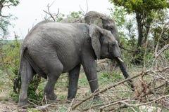Éléphant marchant côte à côte en parc photographie stock libre de droits
