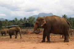 Éléphant marchant dans la jungle sur la montagne et le fond d'arbres Photos stock