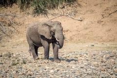 Éléphant marchant dans un lit de rivière sec photo stock