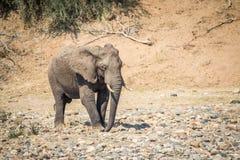 Éléphant marchant dans un lit de rivière sec photographie stock libre de droits