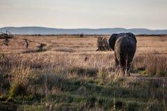 Éléphant marchant loin Photos stock