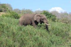 Éléphant marchant par la longue herbe Image stock