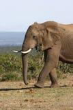 Éléphant marchant plus étroitement Photos stock