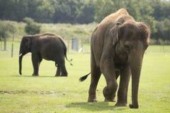 Éléphant marchant sur l'herbe Photographie stock libre de droits