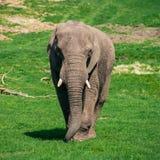 Éléphant marchant vers l'appareil-photo photos libres de droits