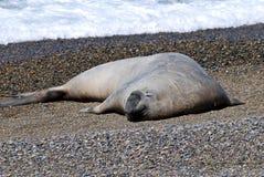 Éléphant marin sur une plage de Valdes photo stock