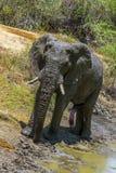 Éléphant, parc national de Kruger photos libres de droits