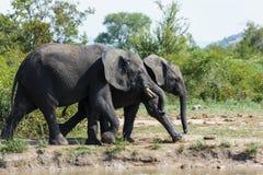 Éléphant passant une petite rivière en parc photos libres de droits