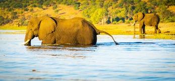 Éléphant pataugeant à travers la rivière Botswana de Chobe Images stock