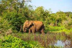 Éléphant pataugeant par l'eau en parc national de Yala photos stock