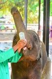 Éléphant perdu ses parents de bébé étant alimentation avec du lait Photos libres de droits