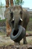 Éléphant prenant le pneu Image stock