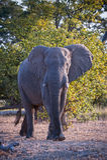 Éléphant provocant Image stock