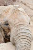 Éléphant regardant l'appareil-photo photographie stock libre de droits