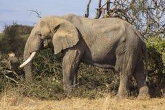 Éléphant repéré dans la région sauvage en parc national d'Amboseli image libre de droits