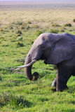 Éléphant - Safari Kenya Photos libres de droits