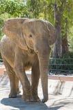 Éléphant sans andouillers Images libres de droits