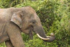 Éléphant sauvage dans l'éléphant de parc national de Yala mangeant des feuilles Photographie stock libre de droits