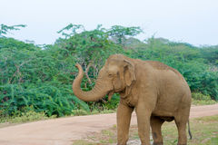 Éléphant sauvage en parc national de Yala dans Sri Lanka Images libres de droits
