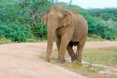Éléphant sauvage en parc national de Yala dans Sri Lanka Photographie stock