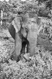 Éléphant sauvage en parc national de Yala, Sri Lanka Image libre de droits